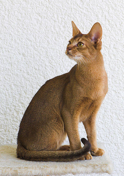 The first 'Abyssinian' cats