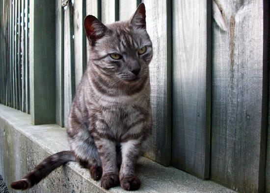 Blue Mackerel Tabby Cat