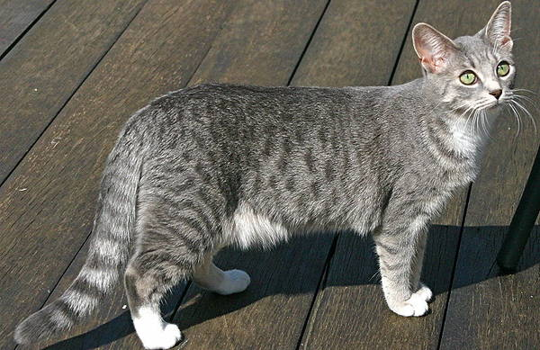 Blue Spotted Tabby Cat