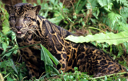 PANTHERE NEBULEUSE DE BORNEO - Neofelis diardi Bornean-clouded-leopard