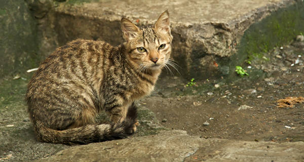 Brown Mackerel Tabby Cat