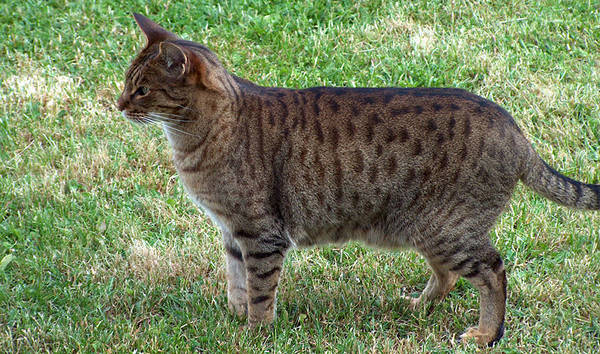 Brown Spotted Tabby Cat