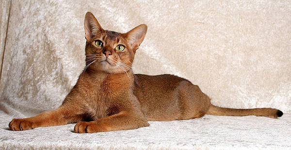 Cinnamon Cat