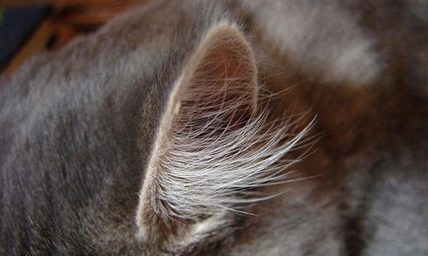 Cat Ear