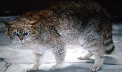 Chinese Mountain Cat
