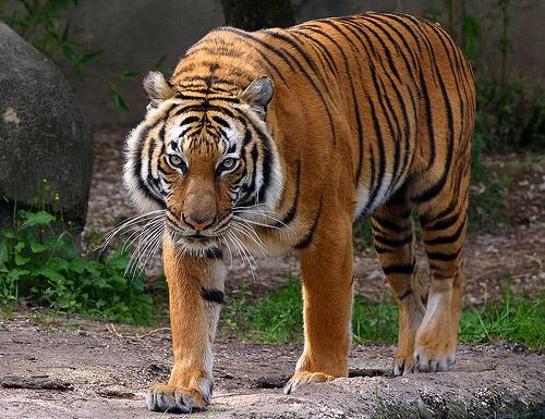Corbett's Tiger