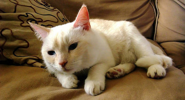 Cream & White Cat