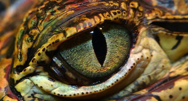 crocodile-eyes-1.jpg