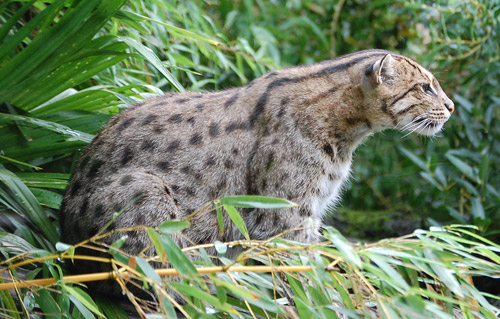Fishing Cat | Prionailurus