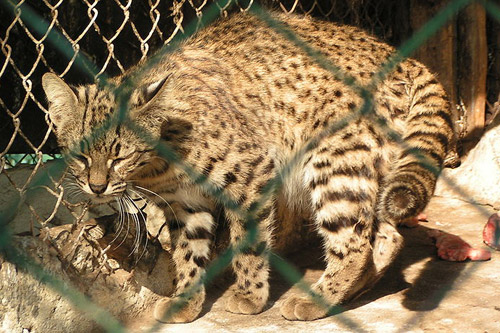 Geoffroy's Cat