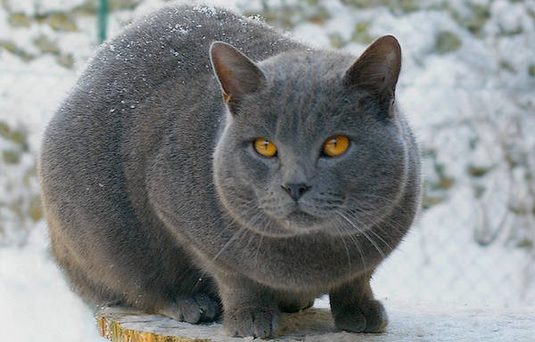 Bue Cat