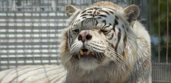 Inbred White Tiger