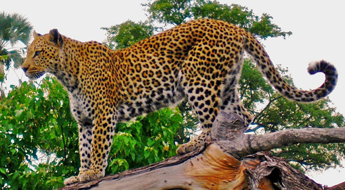 PANTHERE OU LEOPARD - Panthera pardus Indian-leopard