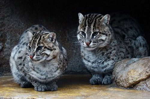 endangered animal iriomote wild cat essay Endangered species this essay endangered species growing number of endangered animals these animals include cheetahs, ocelots, tigers, and other wild cats.
