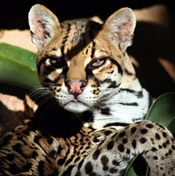 Leopardus Genus