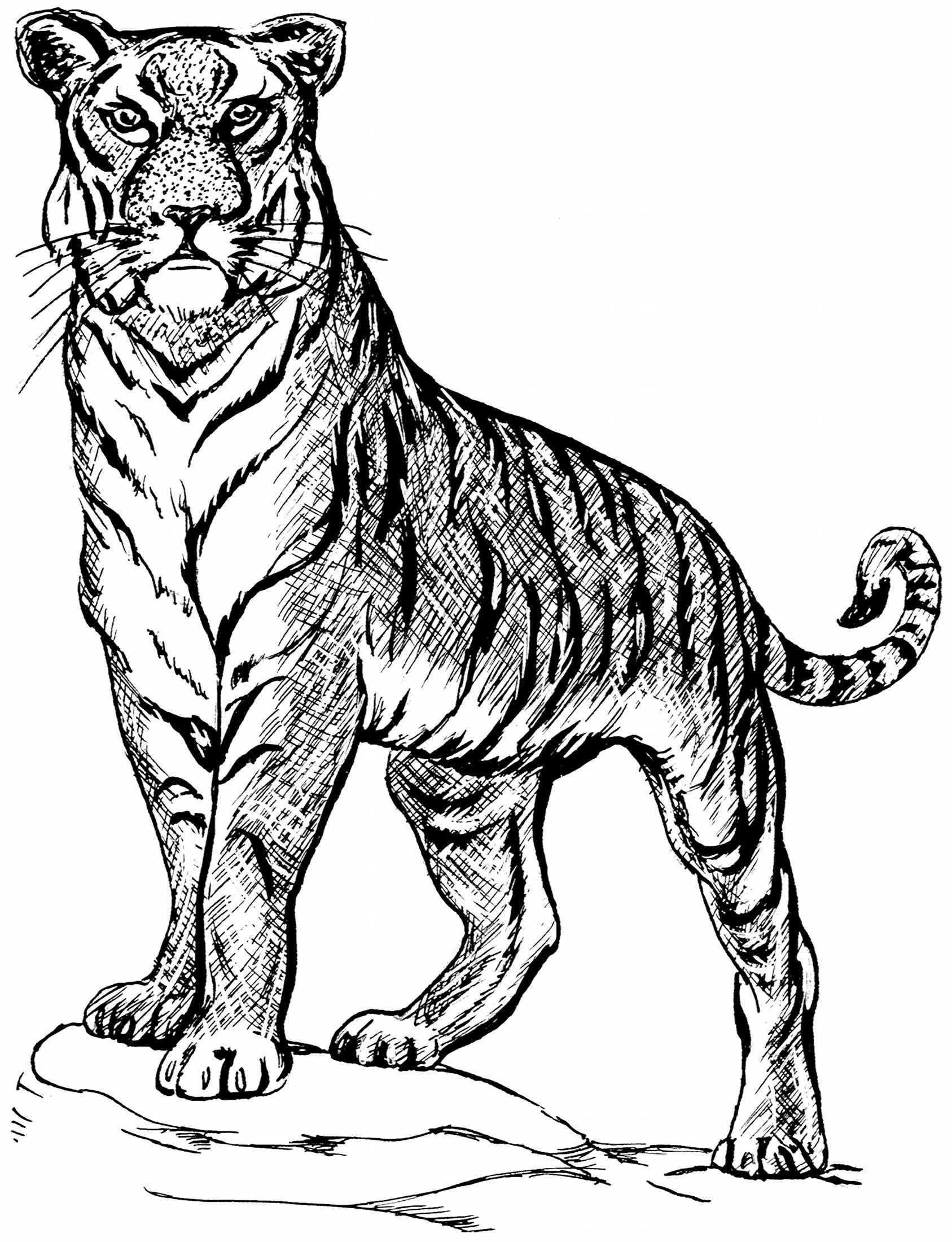 Line Drawing Tiger : Tiger line drawings for coloring