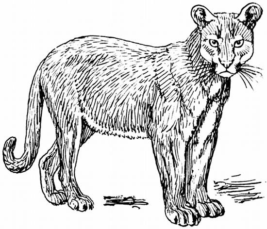 Puma Line Drawing