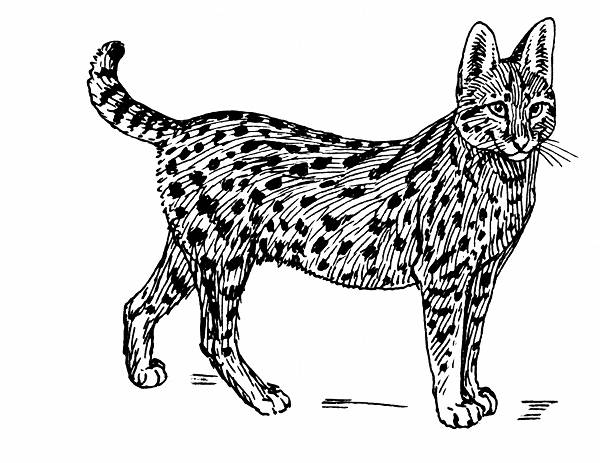 Serval Line Drawing