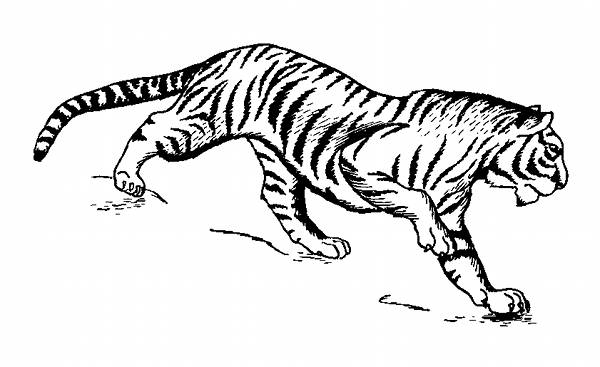 Tiger Line Drawing