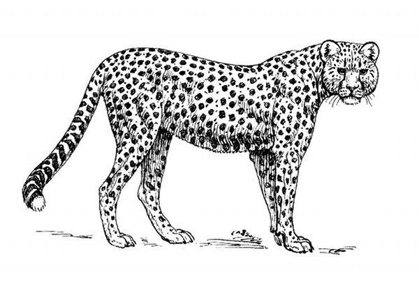 Cheetah Line Drawing