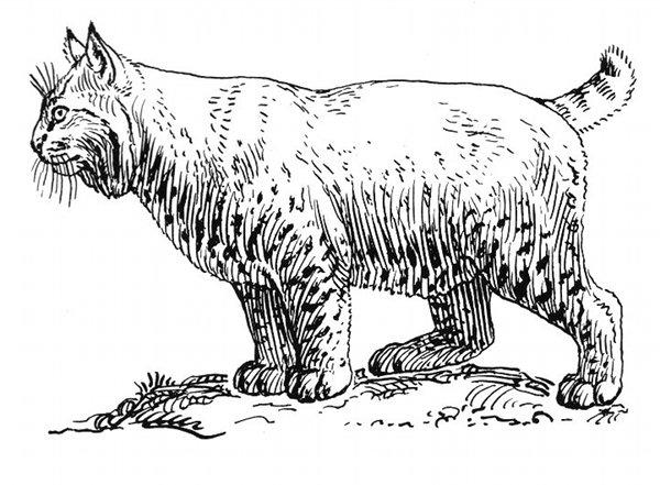 Bobcat Line Drawing