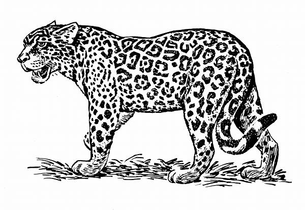 Jaguar Line Drawing