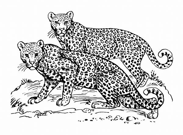 Leopard Line Drawing
