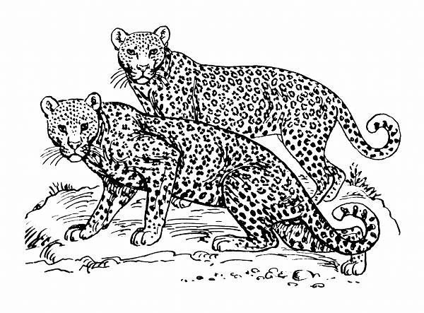 Leopard Line Drawing