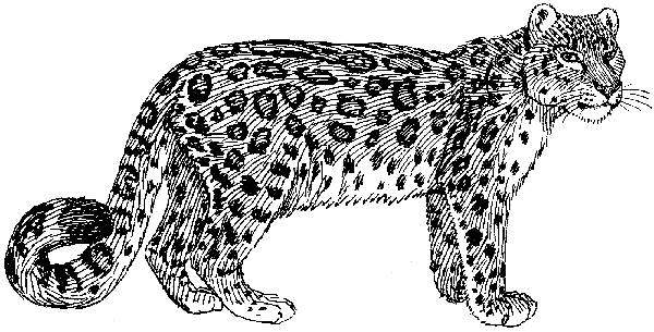Snow Leopard Line Drawing