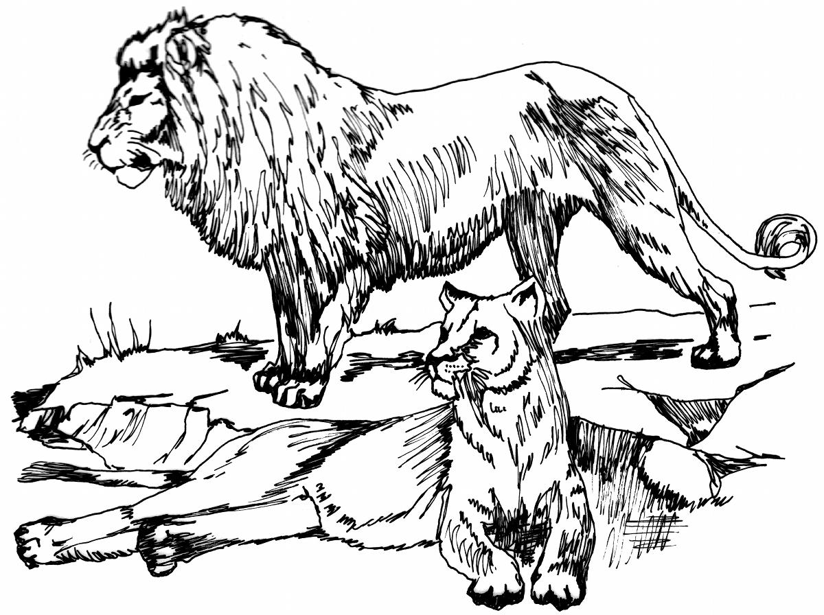 Coloring Pages Animals Realistic Lion : Big cat line drawings