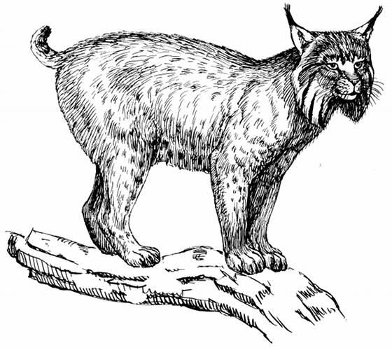 Lynx Line Drawing