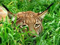 Lynx Genus