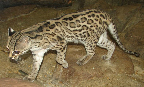 Margay