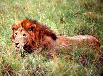 Northeast Congo Lion