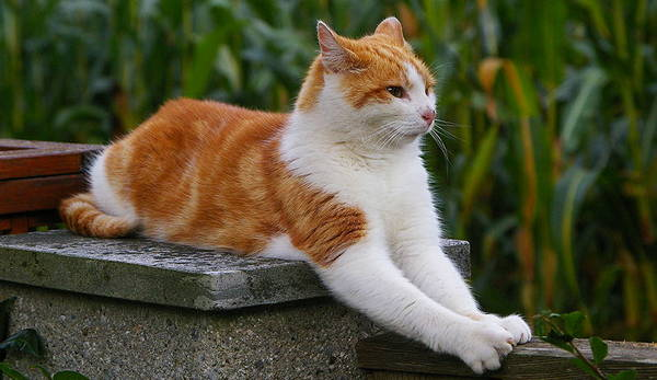 Red & White Cat