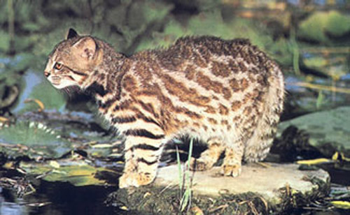 Pampas Cat