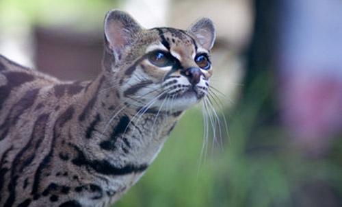 Pantanal Cat