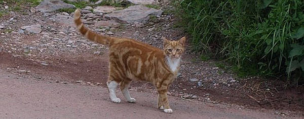 Red Classic Tabby Cat