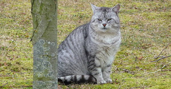 Silver Mackerel Tabby Cat
