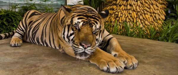 The Sleeping Tiger | Zoom Torino - YouTube