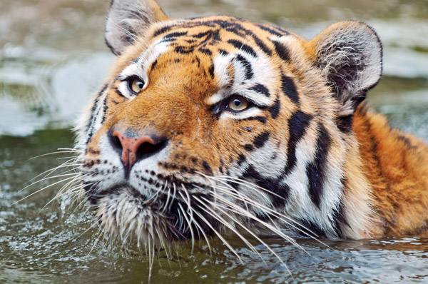 Swimming Tiger